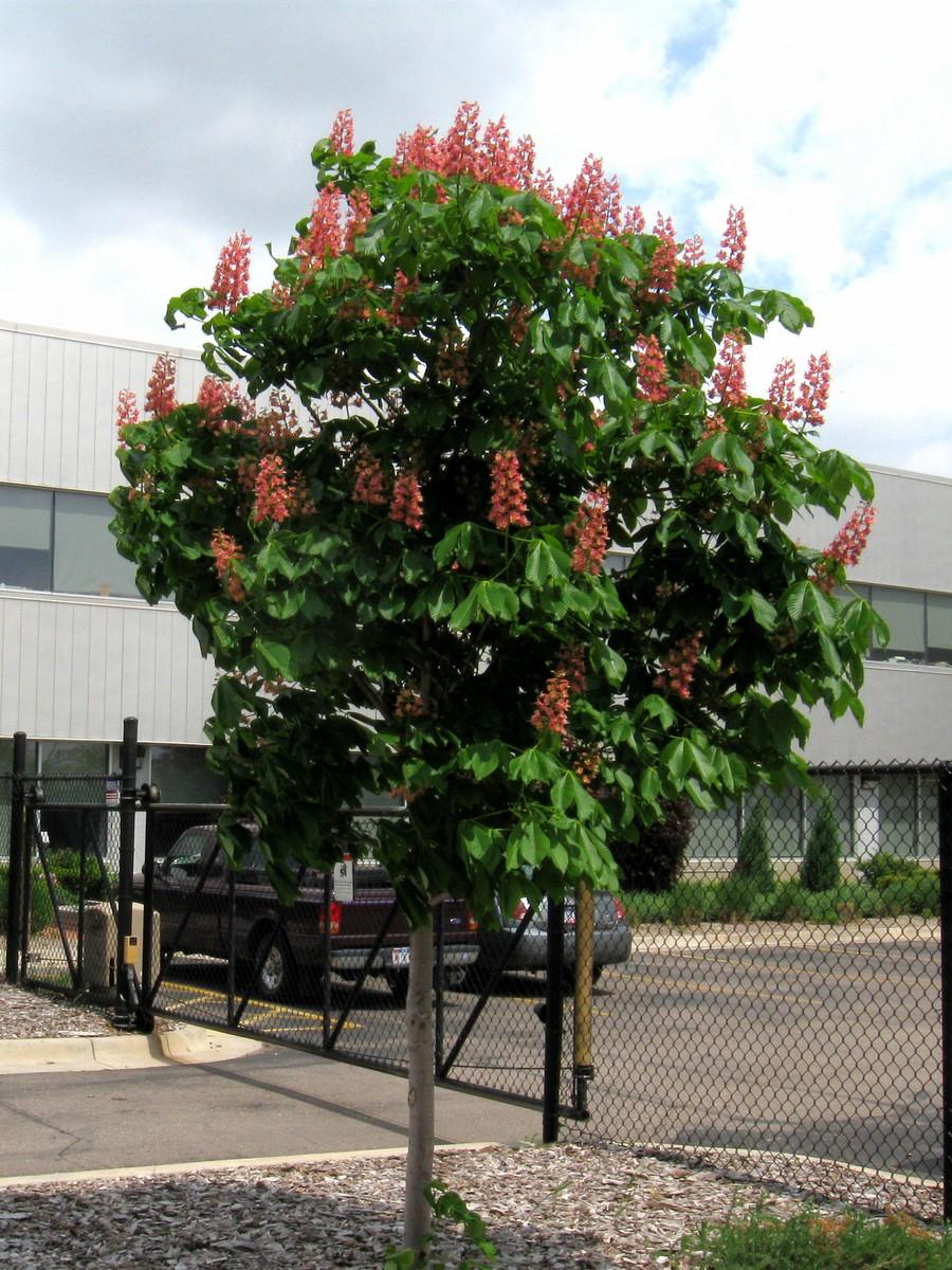 20110523124205 chestnut tree aesculus hippocastanum x pavia with 20110523124205 chestnut tree aesculus hippocastanum x pavia with pink flowers detroit wayne mightylinksfo
