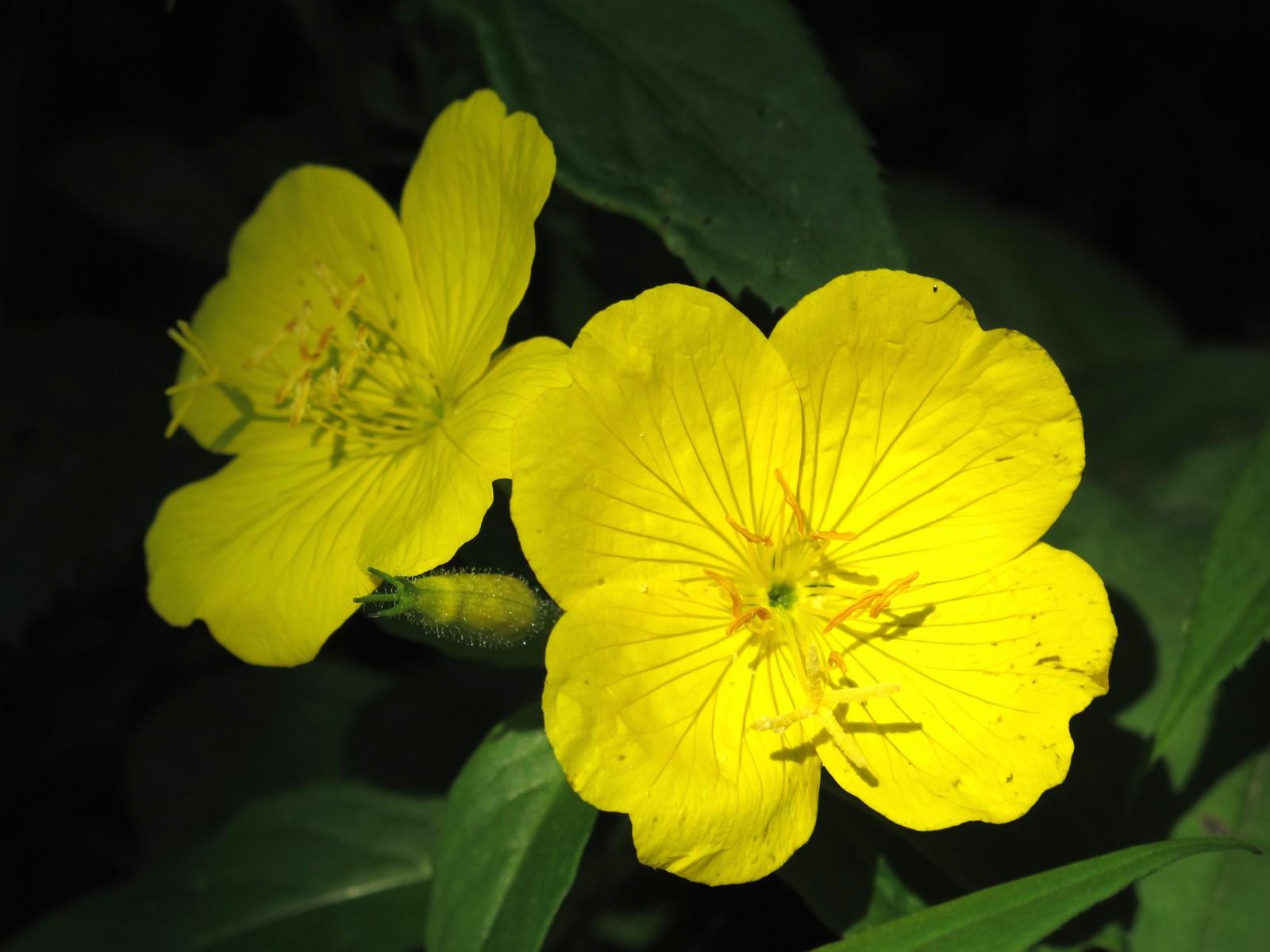 Narrowleaf Evening Primrose Oenothera fruticosa yellow flow