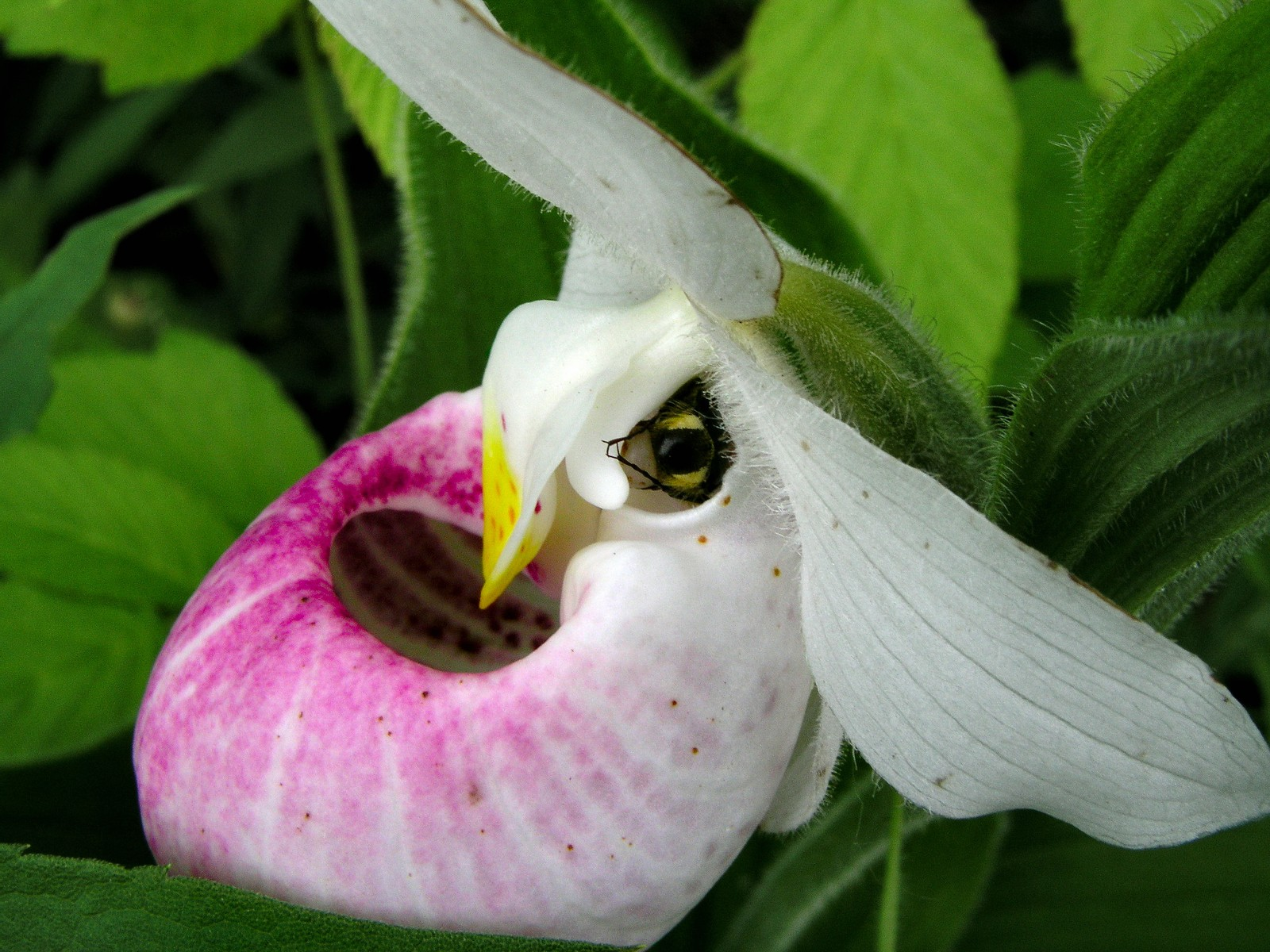 Showy Lady s Slipper Cypripedium reginae bee pollination