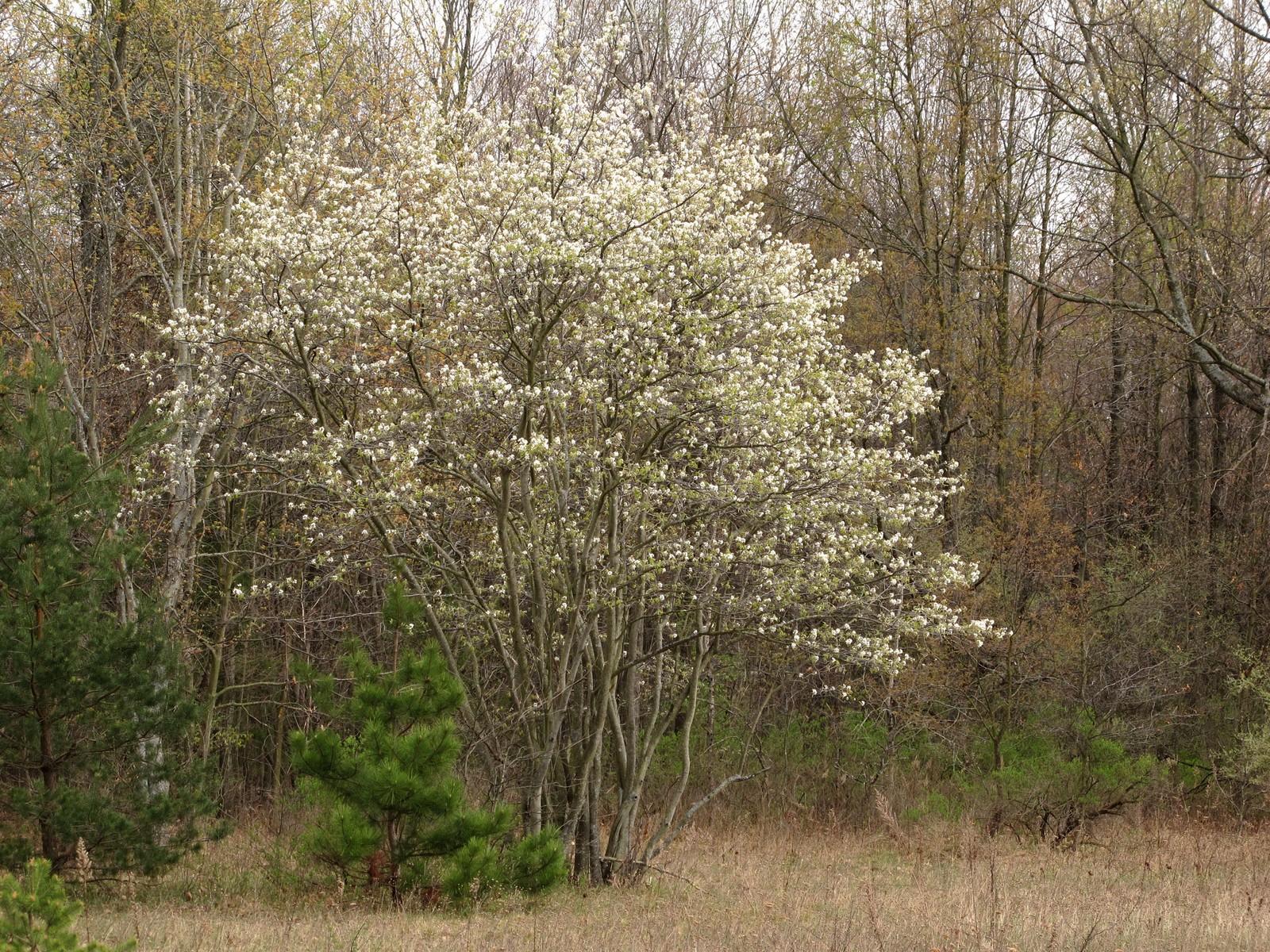Downy serviceberry shadblow juneberry sarvis tree for Serviceberry tree