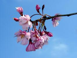 Www Perverdonk Com Wild Flowers Trees And Shrubs Cherry Weeping