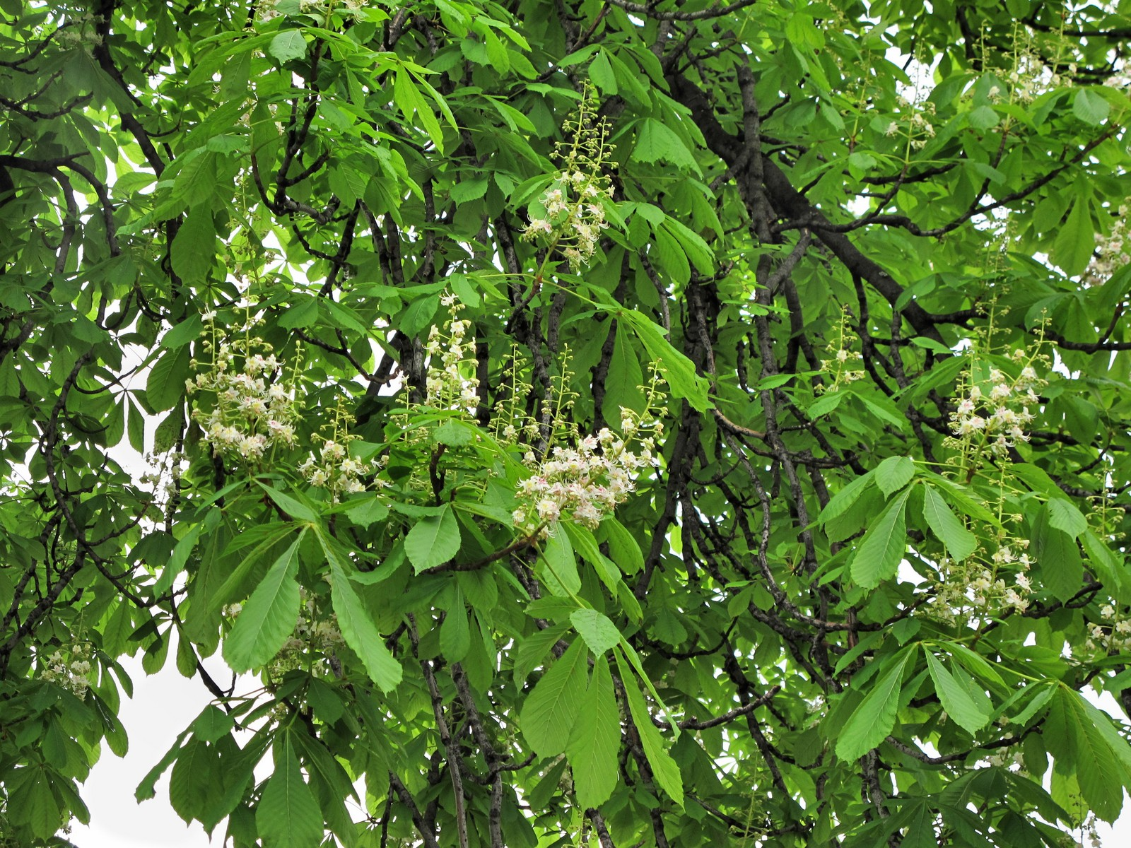 Flowers In Bloom 201105181805010 Horse Chestnut Tree Aesculus