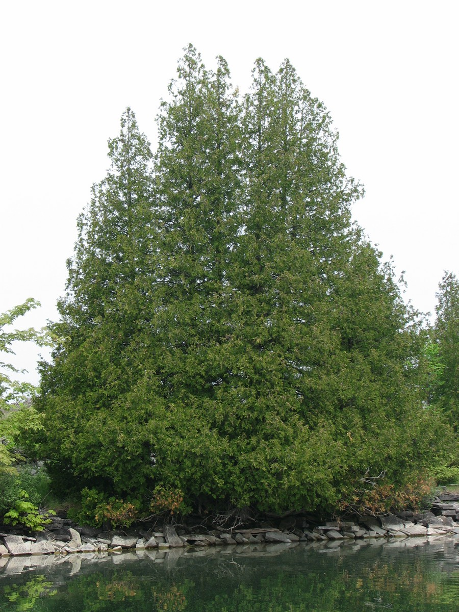 Pictures of cedar trees - This Is The Solution Pictures Of Small Cedar Trees