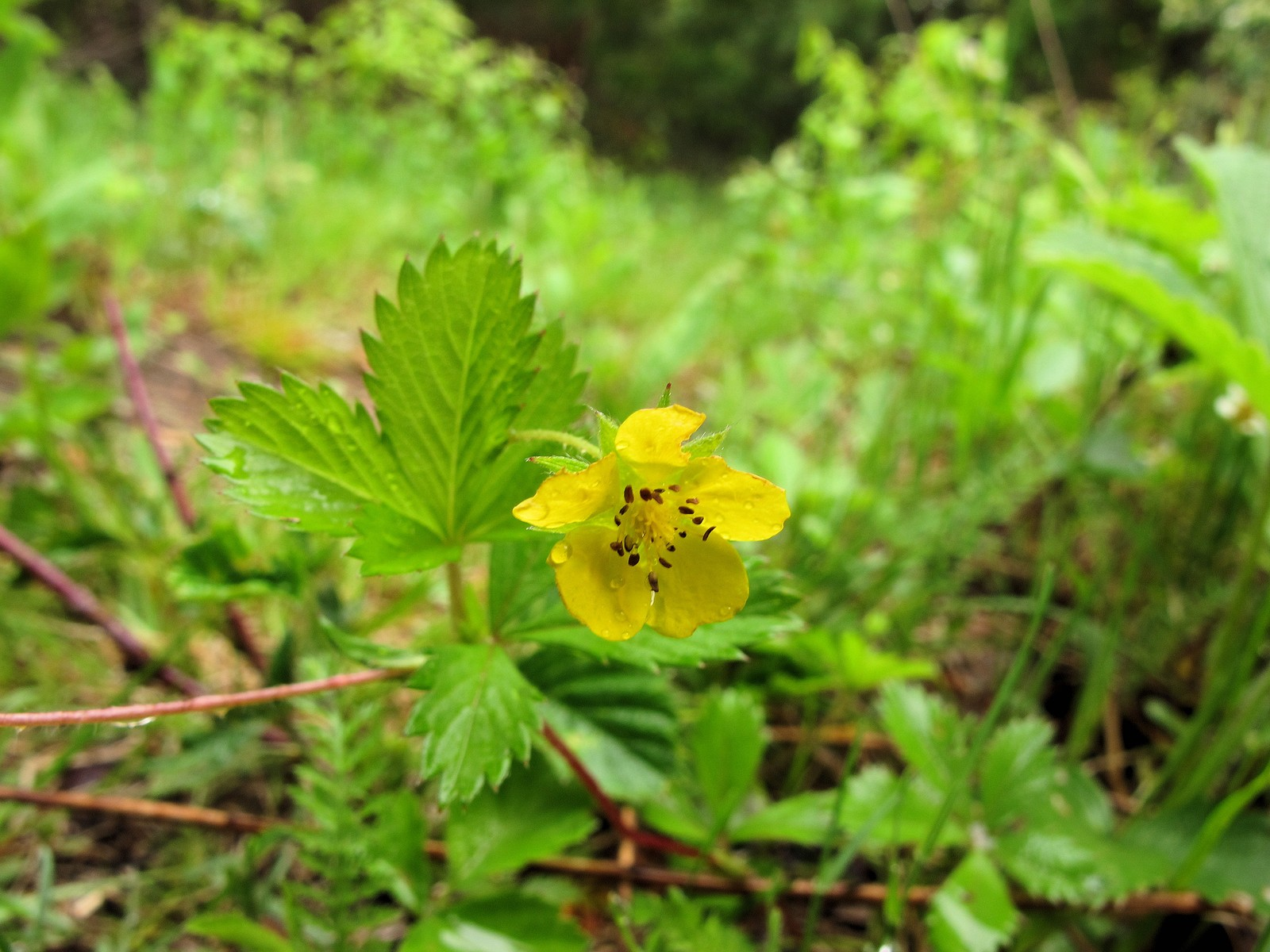 Yellow Flower Strawberries Flowers Healthy