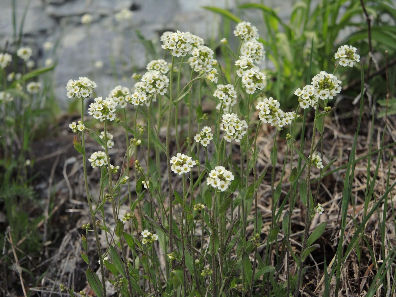 201405291538003 Lyre Leaved Rock Cress Arabis Lyrata White Flowers