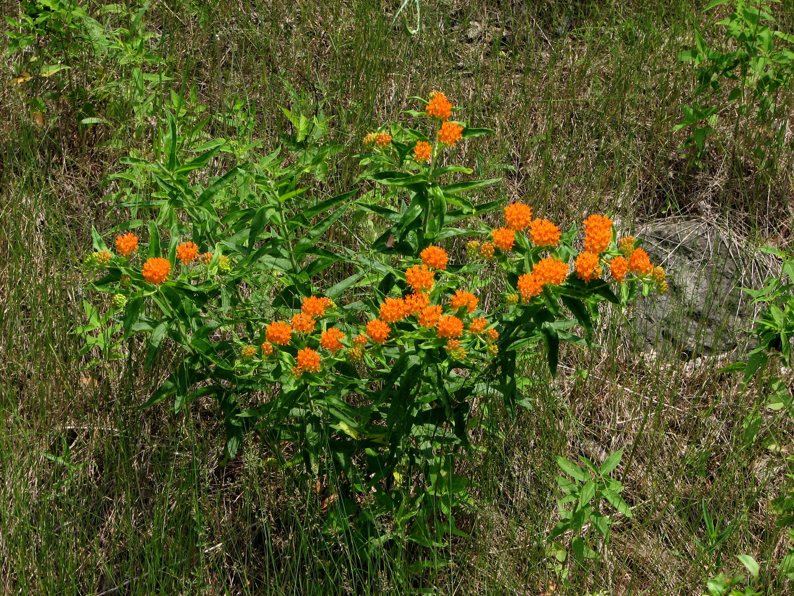 20080707133709 butterfly weed or orange milkweed asclepias tuberosa 20080707133709 butterfly weed or orange milkweed asclepias tuberosa oakland county michigan publicscrutiny Gallery