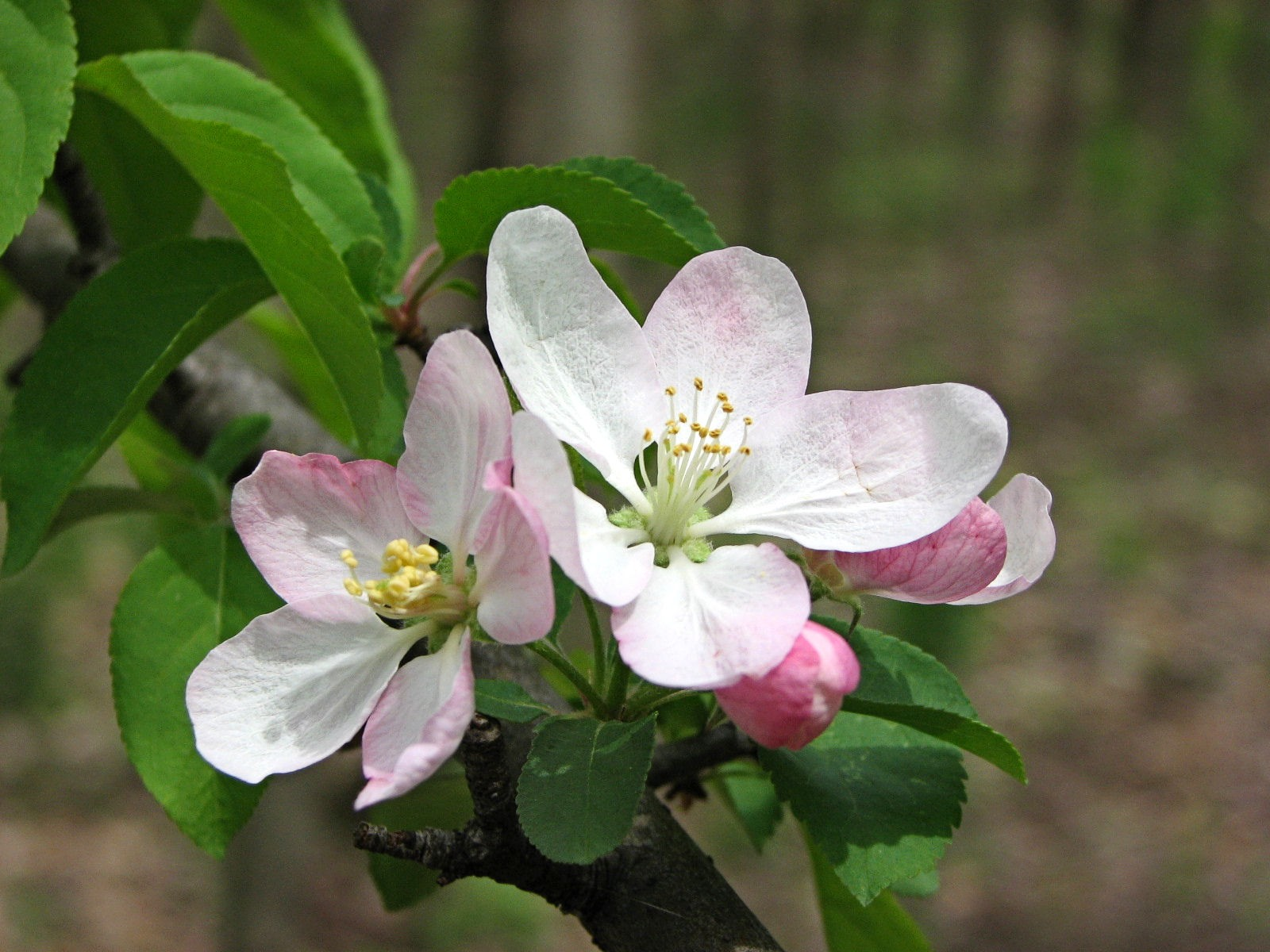 Apple Tree Malus L with white and pink