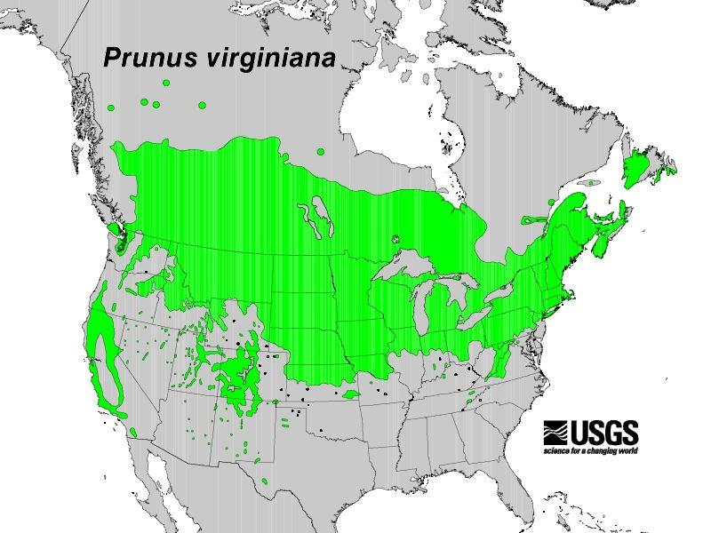 200605 Chokecherry Tree Prunus Virginiana Usgs Distribution Map Jpg